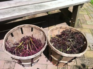 """one day's pickins.  it takes about 10 minutes to fill 2 baskets, and 5 hours to pick the berries off the stems.  talk about """"labor of love."""""""
