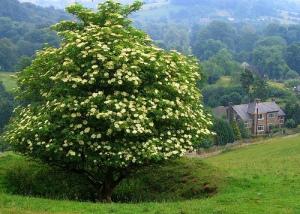 a giant elder in bloom