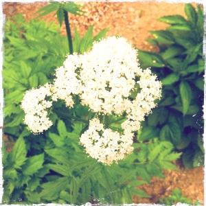 valerian's bouquet