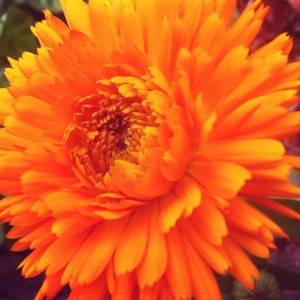 this was the biggest calendula bloom i've gotten yet out of my garden.