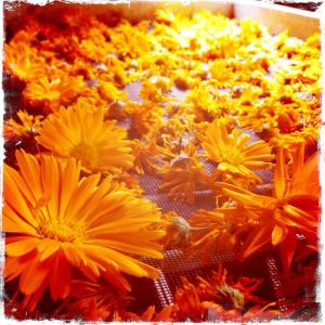 calendula on the drying screen in different states of dryness.