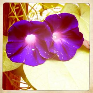 my grandpa ott morning glories sprinkled with pollen.