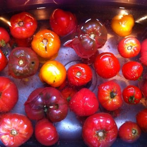 a rainbow of scalded tomatoes cooling in the sink- ruth's perfect, black krims, brandywine pinks, prudens purple, persimmons, and brown kumato.