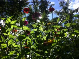a really tall patch of zinnias