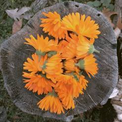 calendula stump