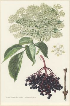 elderberry botanical print