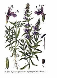 hyssop-botanical-print