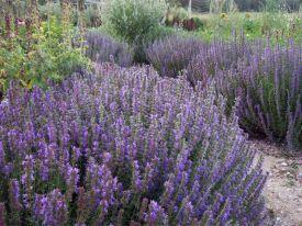 hyssop-garden